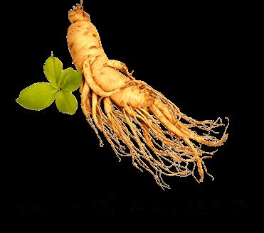 جذور نبتة الجنسينج أحد المكونات الرئيسية للجين شيا
